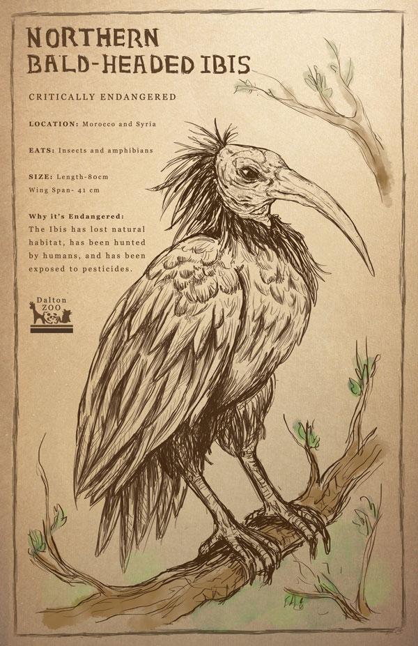 Northern Bald-Headed Ibis