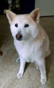cream shiba Fox