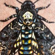 Death's-Head Moth on Sandstone